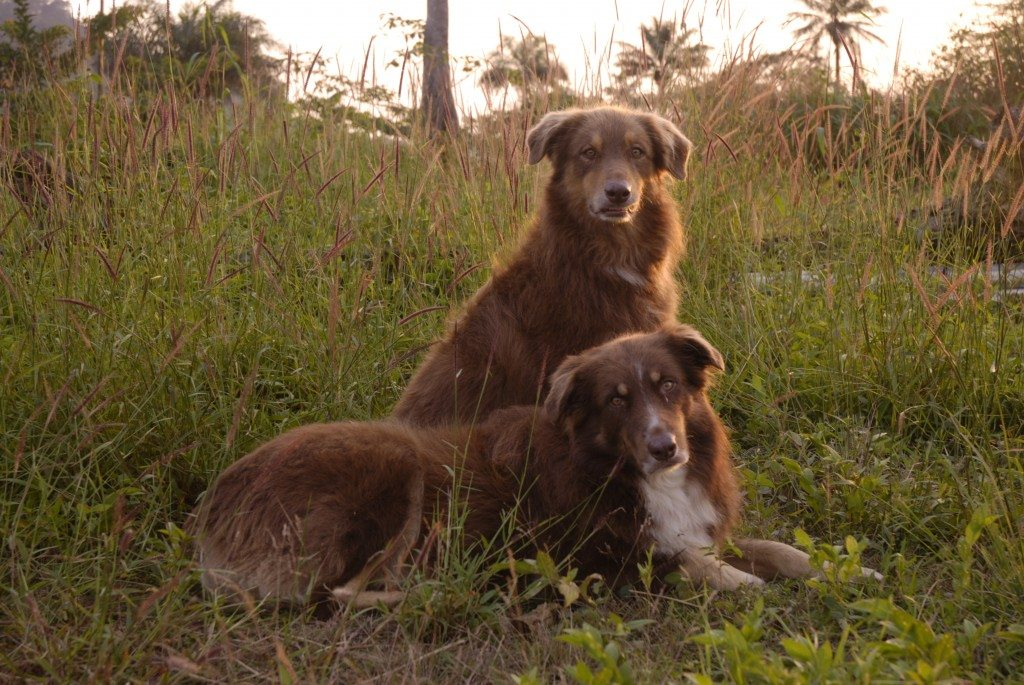 Our Guard Dogs - and faithful companions - Goodness (laying down) and Mercy.