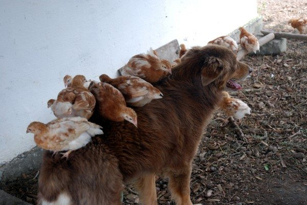 "Mercy ""babysitting"" our chicks. Our dogs, Australian Shepherds, are an invaluable asset."